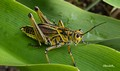 Adult Eastern Lubber Grasshopper
